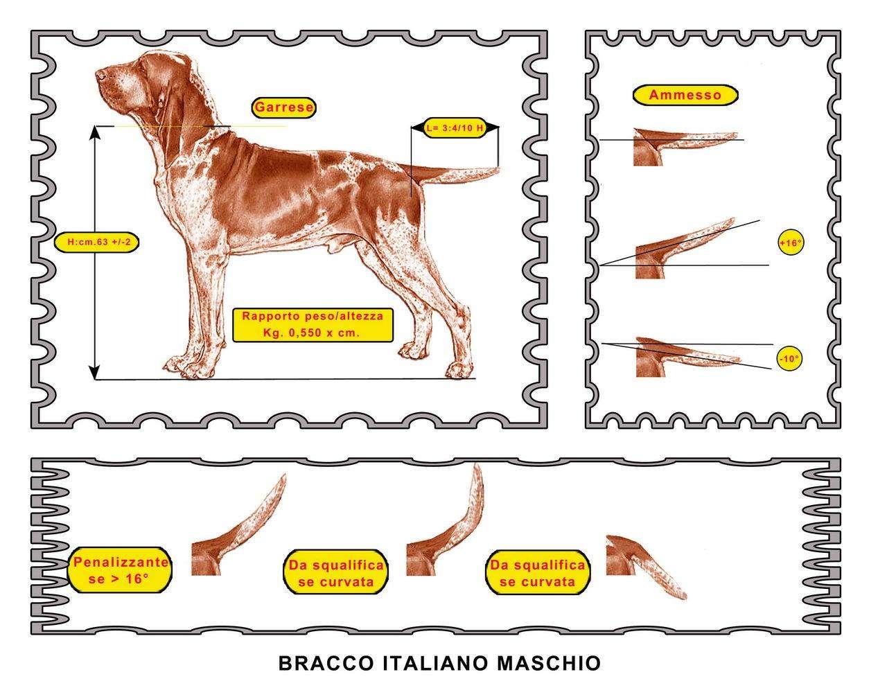 coda bracco italiano