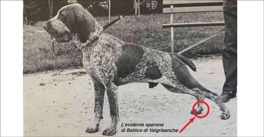 sperone bracco italiano
