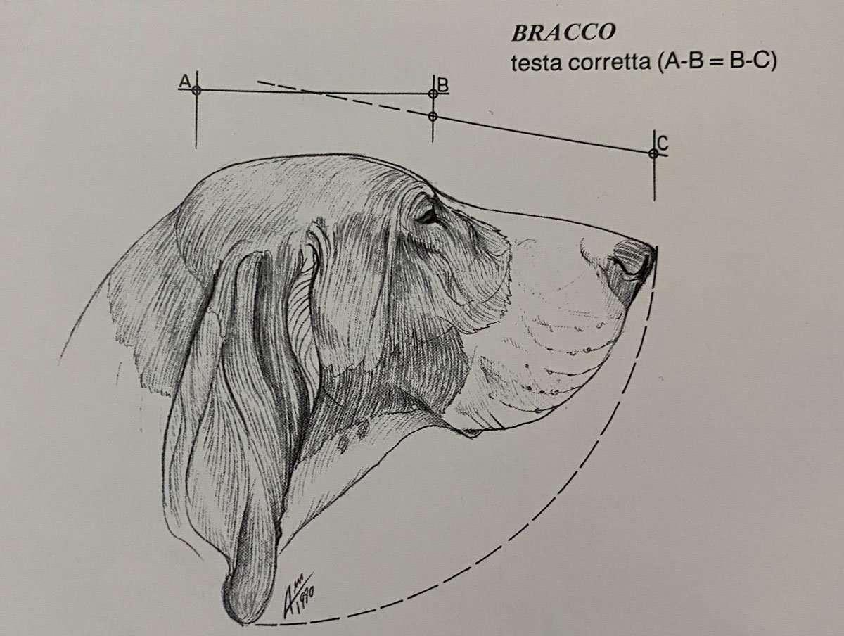 standard morfologico del bracco italiano